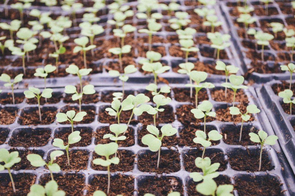 Seedlings in trays Nursery
