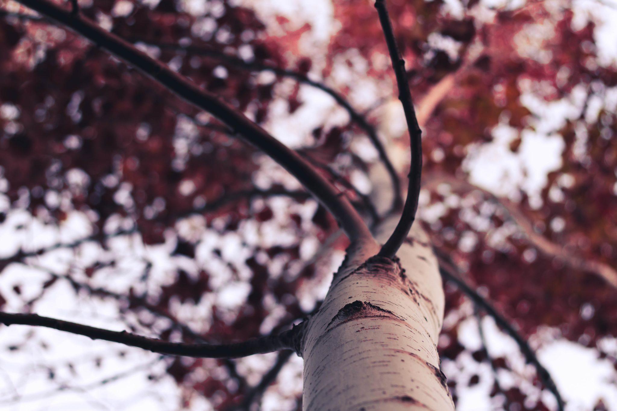 aspen tree pruning