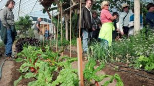 Vegetables, Kale, Chard, in High Tunnel, Greenhouse, Teaching permaculture