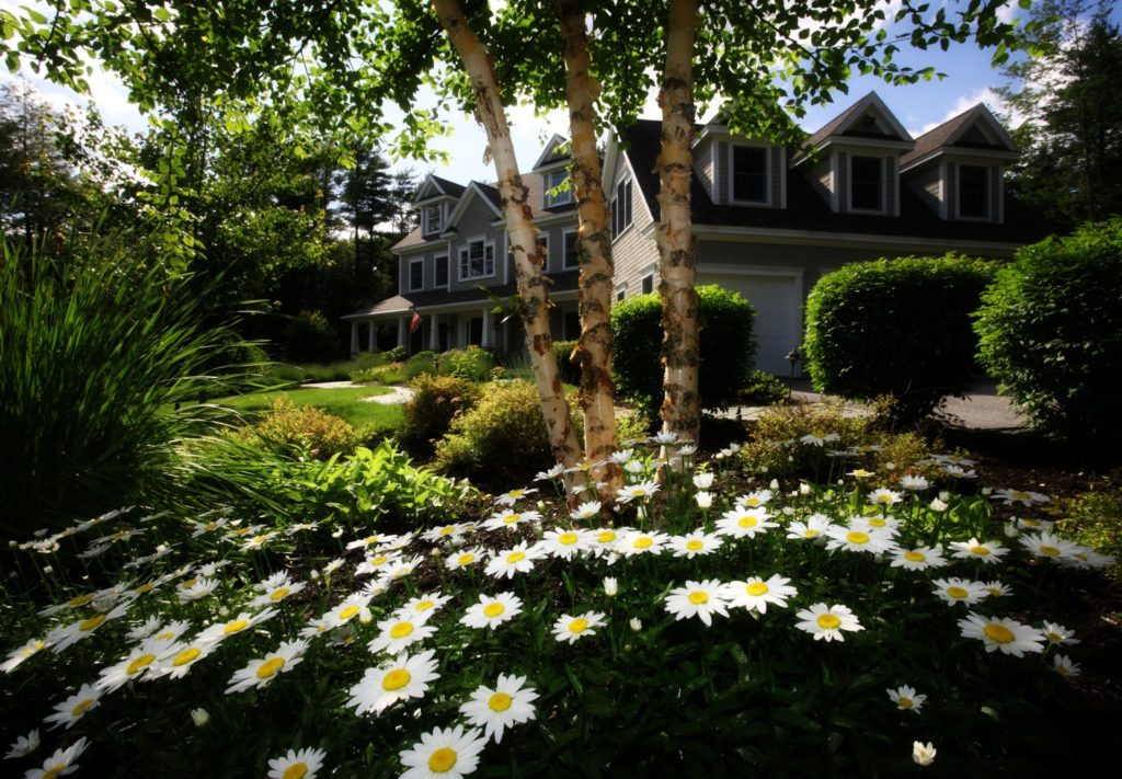 Daisy in Home Garden Landscape Design